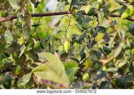 Long Jujube Hanging On Tree In Nature,ziziphus Mauritiana (chinese Date, Ber, Jujube, Indian Plum) A