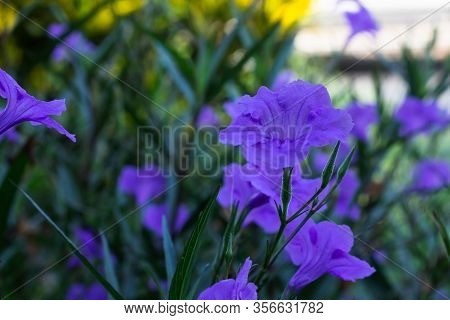 Wild Petunia Or Ruellia Brittoniana Flowers In Morning .drops Of Water On The Flower Stalks.
