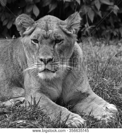 Lion Is One Of The Four Big Cats In The Genus Panthera, And A Member Of The Family Felidae.