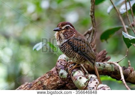Short-legged Ground-roller, Brachypteracias Leptosomus, Perched In A Tree In Madagascar. Masoala Nat