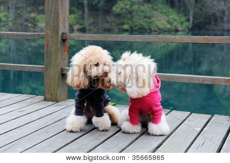 Two Poodle Dog Standing