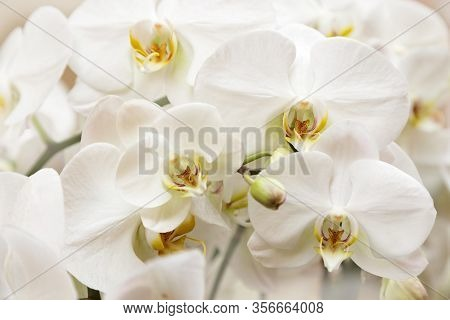 Blossom White Orchid Flowers Close Up. Gentle Natural Background.  Pastel Colored Flowery Greeting C