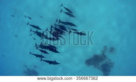 Aa Group Of Dolphins Is Swimming Against The Bottom Of The Open Sea. Underwater Shots