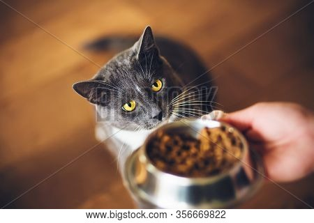 A Grey Domestic Hungry Cat Ask For Dry Food, Which Is In A Bowl. Feeding A Pet.