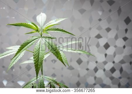 Marijuana Leaves, Cannabis That Has Sunlight On Abstract Pattern Background