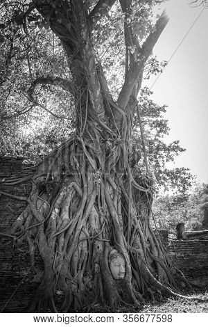 Large Bodhi Tree With Buddha Head In Tree Roots At Wat Mahathat Temple Ayutthaya Thailand. Is The Mo