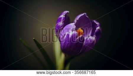 Crocus Blossom, Blue Purple Flower Blooming, Opening, Spring Time Lapse, Isolated On Black Backgroun