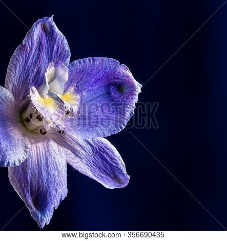Closeup Of A Beautiful Purple Larkspur Flower On A Dark Background With Copy Space