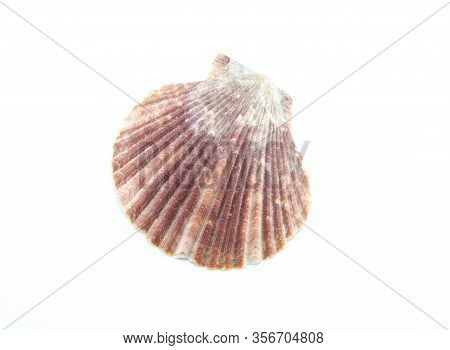 Sea Or Ocean Corrugated Scallop Shell. The Shell Is Brown Or Dark Red. Bivalve Ribbed Clam. White Is