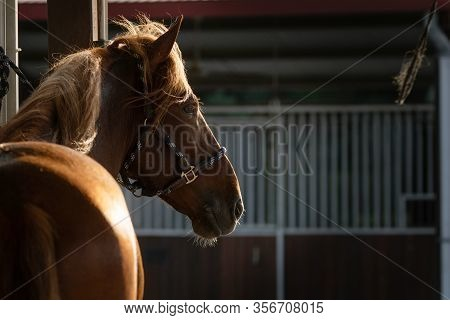 Backlit Portrait Of A Spanish Chestnut Horse In The Stable Corridor