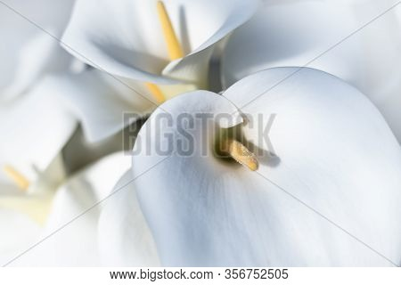 White Calla Flowers Background. Flower Close Up Background. Flowers For Postcard And Home Decoration