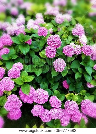 Flowering Hydrangeas In A Parc Somewhere In The Summer