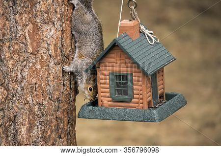 Squirrel Steals From Bird Feeder. A Sneaky Tree Squirrel Steals Seeds From The Bird Feeder In Rathdr