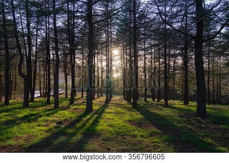 Pine Forrest With Warm Bright Morning Sunlight, Light And Shadow