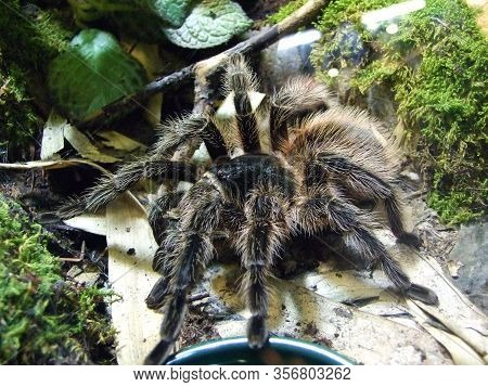 The Spider Tarantula In The Vivarium - Ljubljana, Slovenia (slovenija)