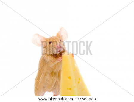 Rat with a slice of cheese. Isolation on white