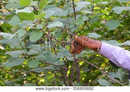 A Farmer Appearing Figs Fruit On Plant, Figs Plant,gardening Concept, Figs On The Branch Of A Fig Tr