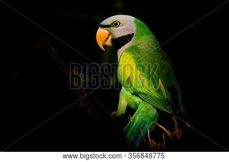 Red-breasted Parakeet - Psittacula Alexandri Green Colourful Parakeet Feeding,  Alternative Name Is