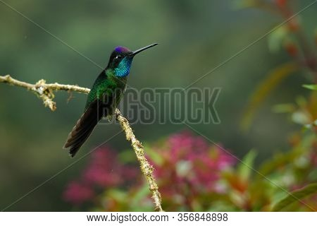 Talamanca (admirable) Hummingbird - Eugenes Spectabilis Is Large Hummingbird Living In Costa Rica An