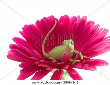 Chameleon on flower. Isolation on white