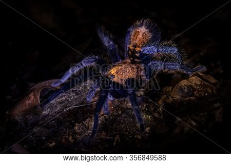 Costa Rican Suntiger Tarantula - Davus Ruficeps Is A Species Of Spiders In The Family Theraphosidae