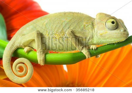 Chameleon on flower. Isolation on white