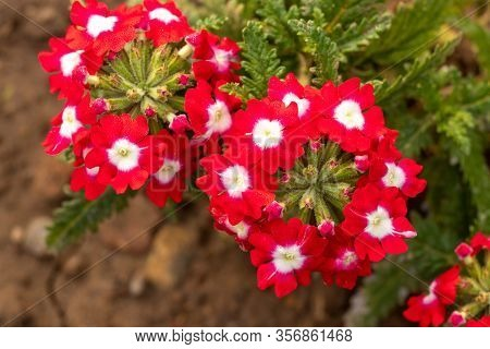 Red And White Flower Of Verbena Plant, Beautiful Verbena Flower On The Verbena Plant.