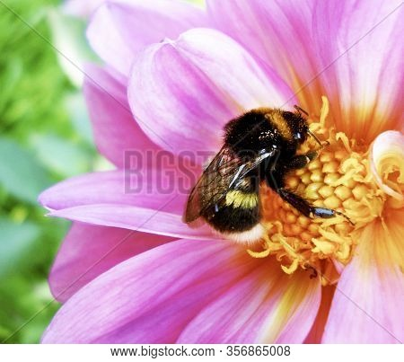 Bumblebee Pollinating Flower. Scenic, Colorful Picture Of Bumble Bee On Pink Flower, Close Up.