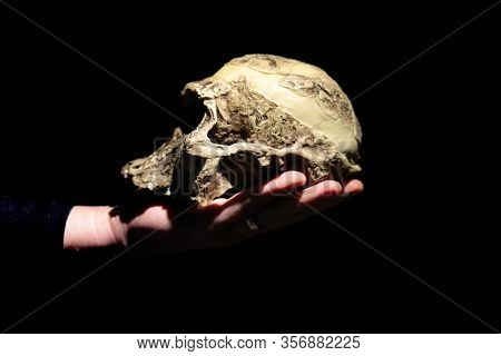 Model Of Human Ancestor Skull (australopithecus Africanus) On A Hand. Dark Background.