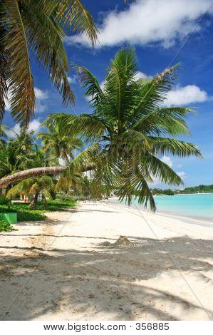 Guam Bent Coconut Tree
