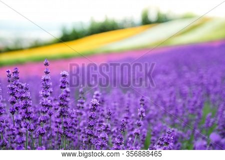Lavender Flowers Blooming Close-up (purple Field Flowers) And Rainbow Colorful Flower Background, Fu
