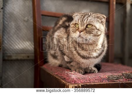Sad, Incredulous Cat, Scottish Fold, Basked In The Spring Sun, Sitting On An Old Chair And Looking W