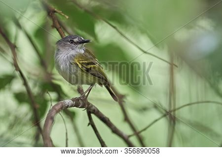 Flycatcher Gray And Yellow Perched On A Branch Looking For Food