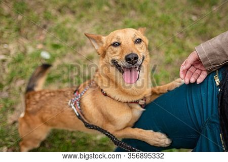 Cute Brown Foxy Faced Mongrel Dog With Open Mouth And Pink Tongue Sticking Out Leaning On Human Leg
