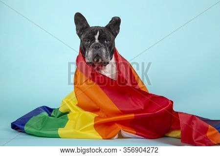 Beautiful French Bulldog Wrapped With A Rainbow Flag That Symbolizes The Rights Of Gays Looking At T