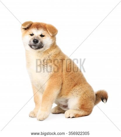 Cute Akita Inu Puppy On White Background. Baby Animal