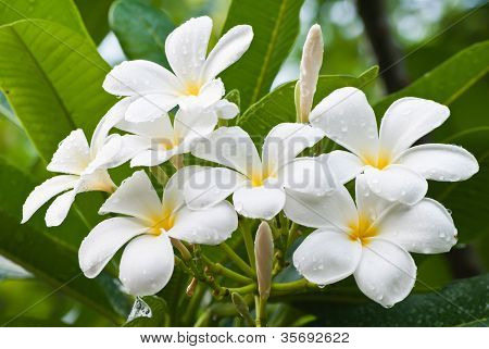Branch Of Tropical Flowers Frangipani (plumeria) For Spa & Aromatherapy Concept