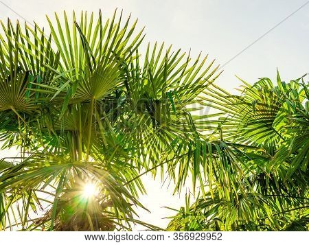 Palms With Sunlight Passing Through The Leaves, In The Shape Of A Star On A Sunny Day. White Backgro