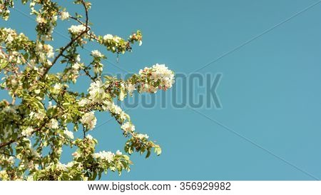 Beautiful Cherry Tree With White Flowers On A Turquoise Blue Sky, With Space On The Right. Spring Co