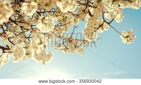 View From Below Of White Cherry Blossom, With A Blue Sky At Sunset Concept Flowers, Spring.