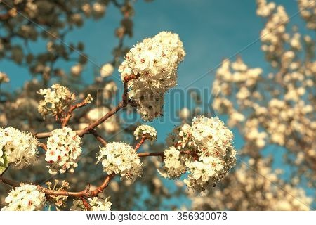 Beautiful White Ball-shaped Flowers Bathed In Sunlight At Sunset With A Turquoise Blue Sky In The Ba