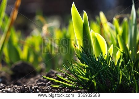 Sprouted Green Grass In Spring. Bright Bushes In The Ground.