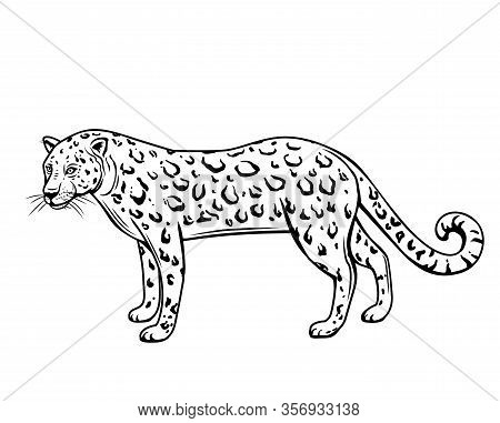 Leopard, Outline Animal. Panthera, Puma Or Wild Cat Drawing Vector Illustration, Isolated.