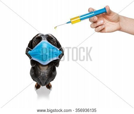 Sick And Ill Dachshund Sausage Dog  Isolated On White Background With  Face Mask And Toilet Paper Ro