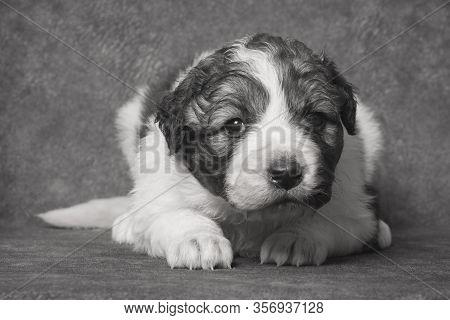 Pet Portrait Of Cute Little Sheperd Puppy On Gray Background.