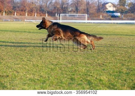 Dog Breed German Shepherd Runs Very Fast