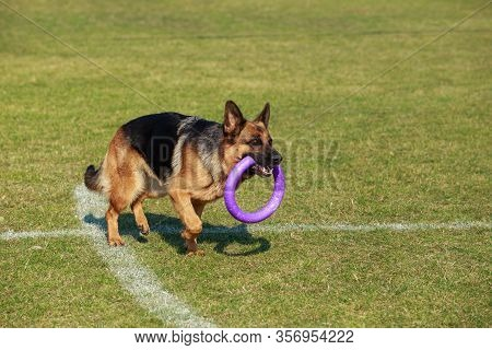 Dog Breed German Shepherd In The Stadium With A Trenuvalnom Projectile