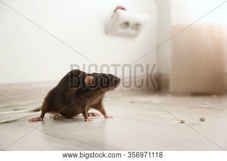 Brown Rat On Floor Indoors. Pest Control