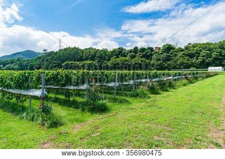 Vineyard Summer Landscape With Rows Of Grape Vines And Grass With Foresst On The Background. Vineyar