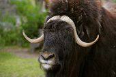 portrait of an angry musk ox with big horns poster